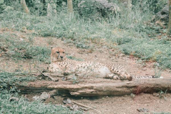 cheetah cebu safari